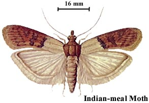 Indian-meal Moth