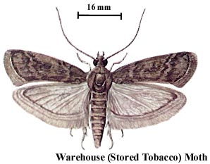 Warehouse (Stored Tobacco) Moth